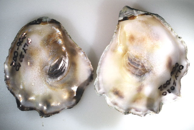 Image of Ostreoida