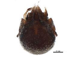 Image of <i>Eupelops occultus</i> (Koch 1835)
