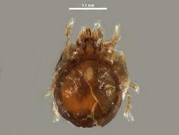 Image of <i>Peloptulus phaenotus</i> (C. L. Koch 1844)