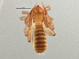Image of <i>Chthonius</i> (<i>Ephippiochthonius</i>) <i>tetrachelatus</i> (Preyssler 1790)