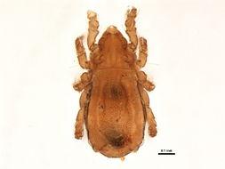 Image of Nothrus anauniensis