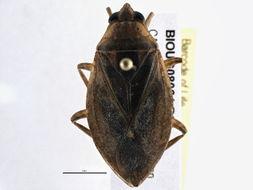 Image of <i>Belostoma flumineum</i> Say 1832