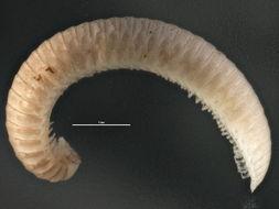 Image of Hirudisomatidae