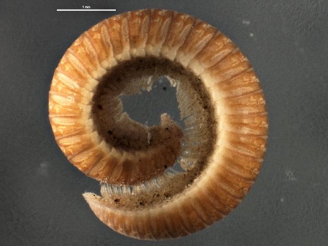 Image of Polyzoniidae