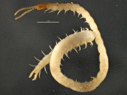 Image of <i>Schendyla nemorensis</i> C. L. Koch (1837)