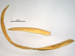 Image of Ascarididae