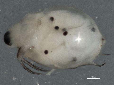 Image of Scapholeberis