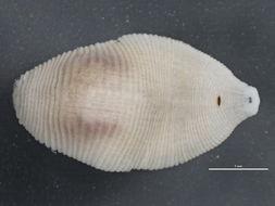 Image of <i>Helobdella stagnalis</i> (Linnaeus 1758)
