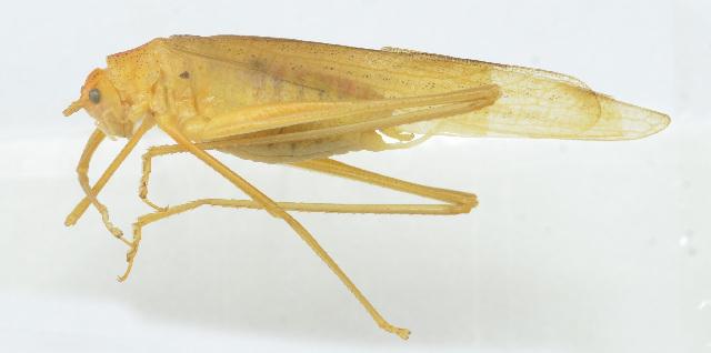 Image of Elimaea