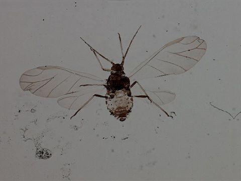 Image of <i>Braggia eriogoni</i> (Cowen & J. H. 1895)