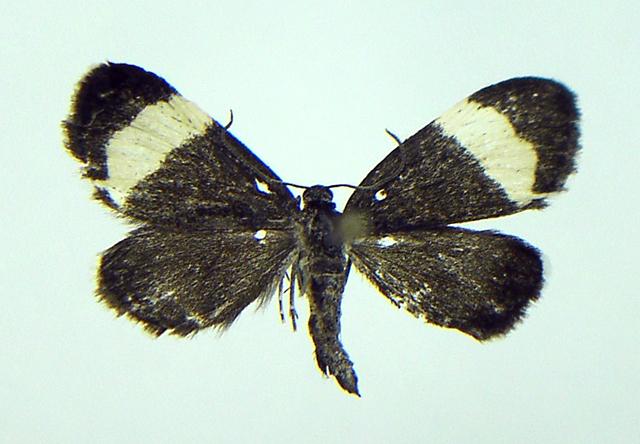 Image of White-striped Black