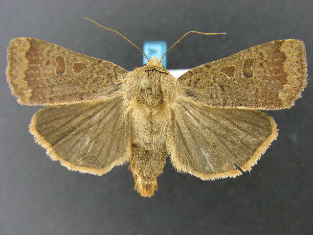 Image of Greater Red Dart