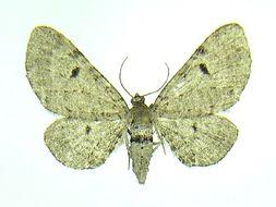 Image of <i>Eupithecia indistincta</i> Taylor 1910