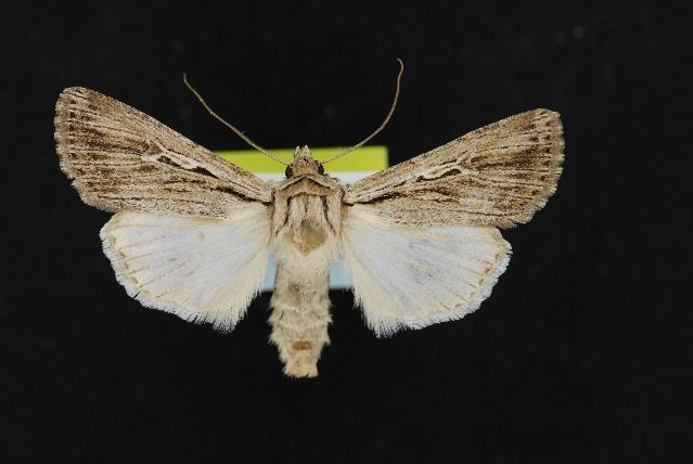 539.rdnmc cnc noctuoidea 11870 1137688104 jpg