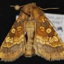 Image of Frosted orange moth