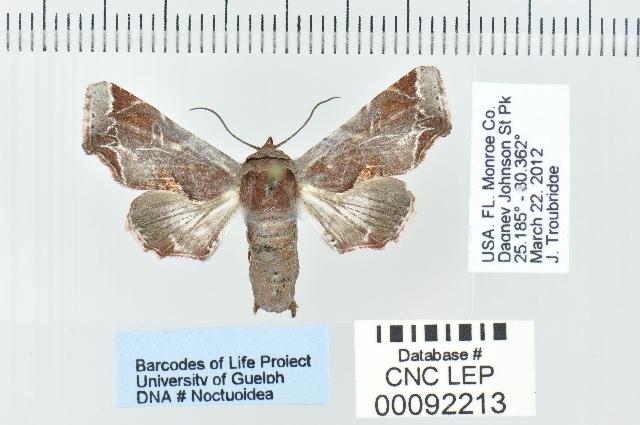 Image of <i>Eutelia pyrastis</i> Hampson 1905