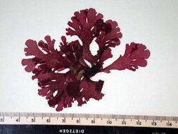 Image of <i>Gloiocladia laciniata</i>