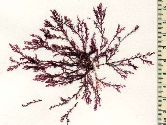 Image of <i>Plocamium oregonum</i>