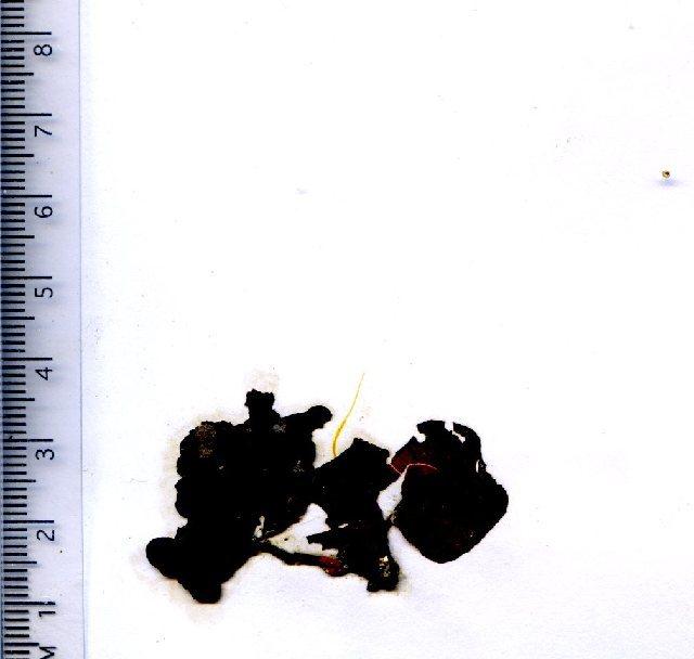 Image of Furcellariaceae