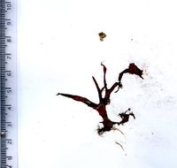 Image of <i>Kallymenia patens</i>