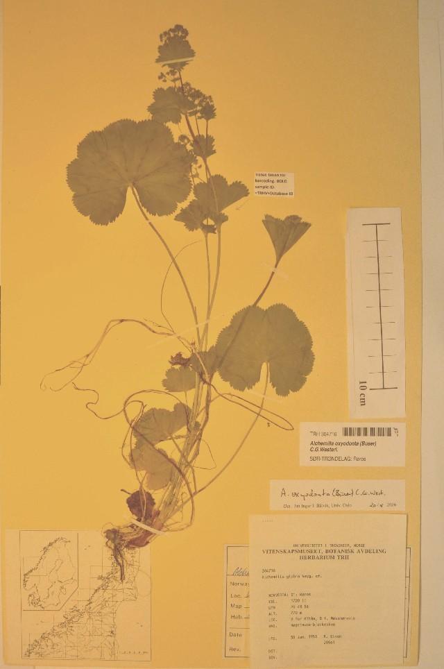 Image of <i>Alchemilla oxyodonta</i> (Buser) C. G. Westerlund