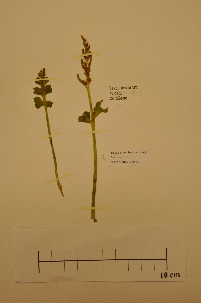 Image of northern moonwort