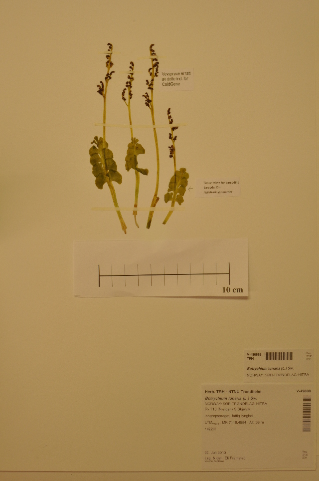 Image of common moonwort