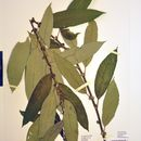 Image of Almond-leaved Willow