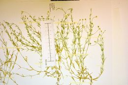 Image of <i>Stellaria fennica</i> (Murb.) Perfil.