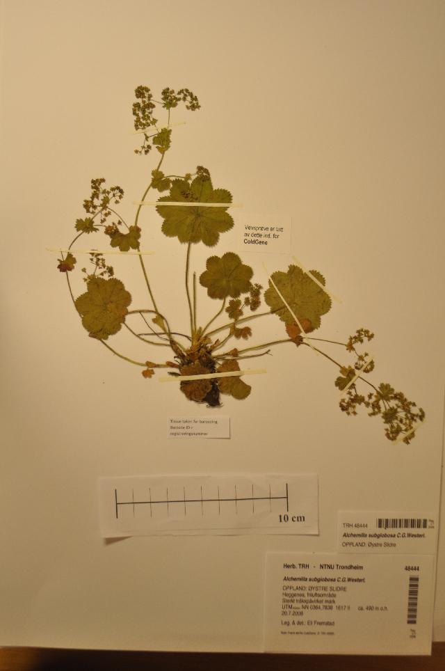 Image of <i>Alchemilla subglobosa</i> C. G. Westerlund