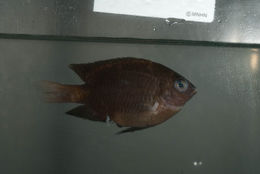 Image of Obscure damselfish