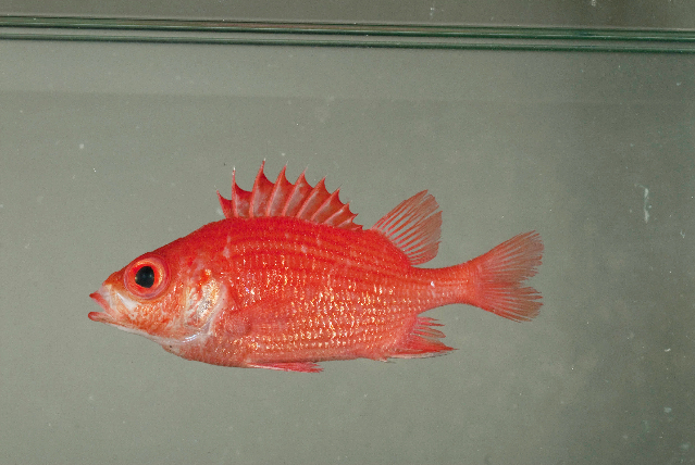 Image of Spiny squirrelfish