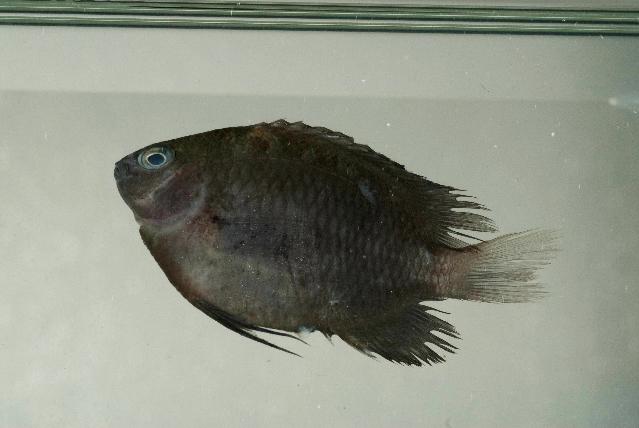 Image of Pomacentrus moluccensis