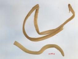Image of <i>Dracunculus insignis</i> Leidy 1858