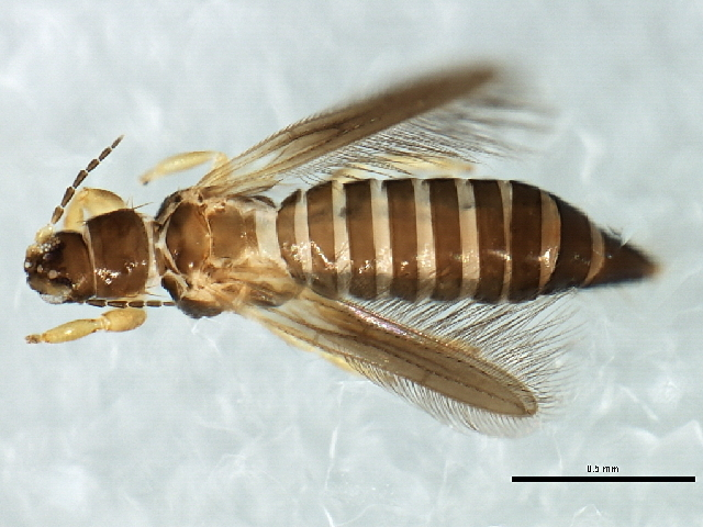 Image of Cycadothrips