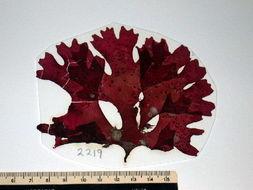 Image of Fryeellaceae