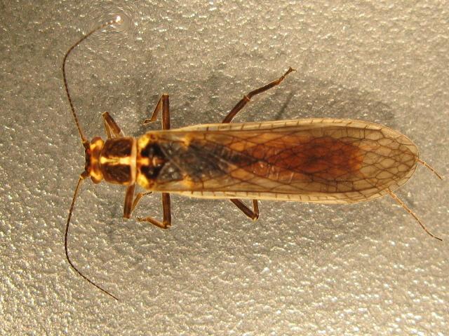 Image of Pteronarcyinae