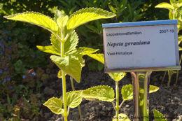 Image of <i>Nepeta govaniana</i> (Wall. ex Benth.) Benth.