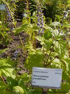Image of <i>Scutellaria rubicunda</i> Hornem.