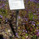 Image of alpine basil thyme