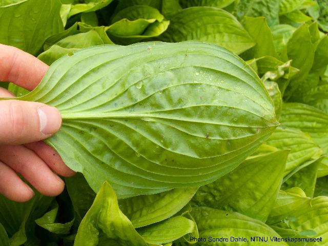 Image of <i>Hosta rectifolia</i> Nakai