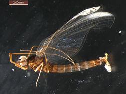 Image of <i>Paraleptophlebia bicornuta</i> (Mc Dunnough 1926)