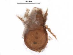 Image of Eremulidae