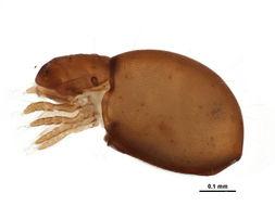 Image of Haplozetidae