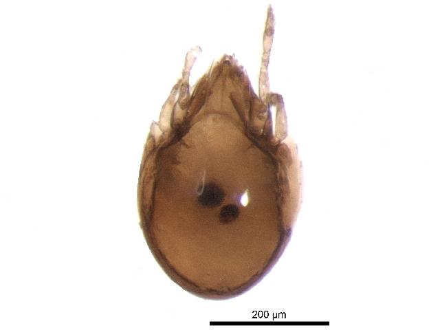 Image of Ceratozetidae
