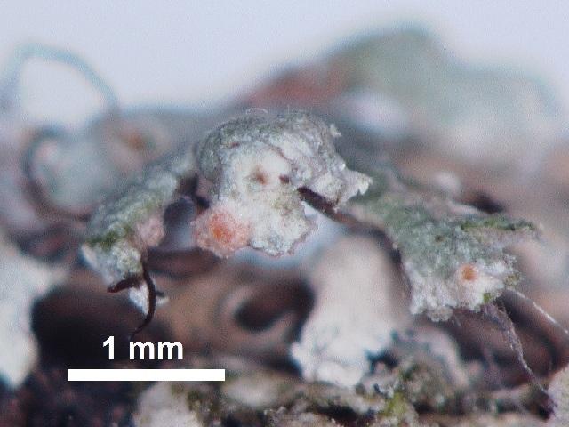Image of <i>Ovicuculispora parmeliae</i> (Berk. & M. A. Curtis) Etayo 2010