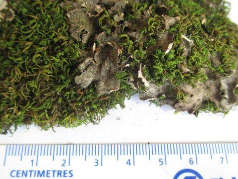 Image of Evans' felt lichen