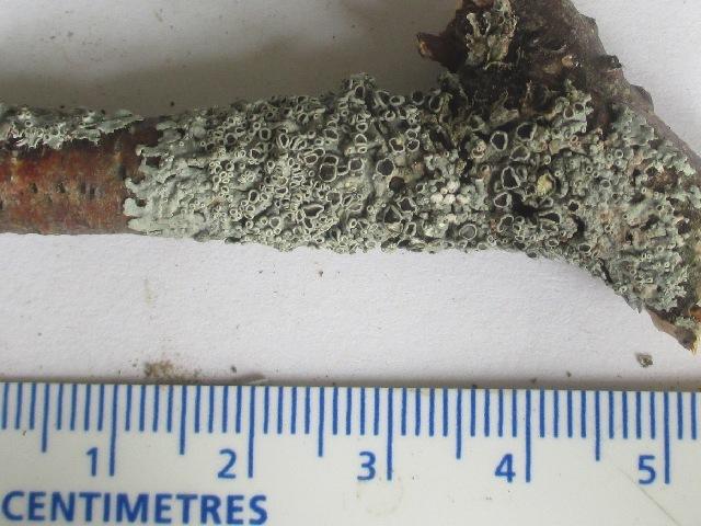 Image of starry rosette lichen