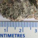 Image of disk lichen