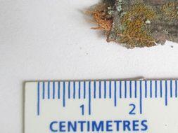 Image of <i>Caloplaca pyracea</i> (Ach.) Th. Fr.